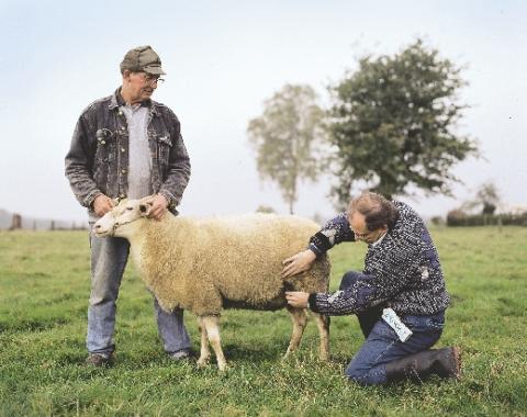 diagnostika březosti ovcí