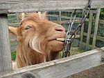 Fixační pomůcky pro kozy