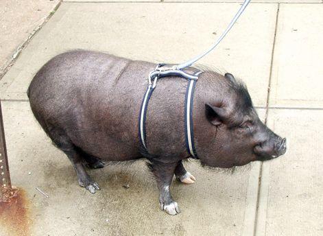 fixační pomůcky pro prasata