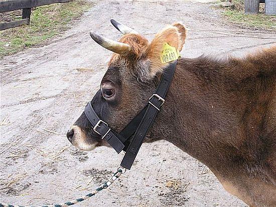 fixační pomůcky pro dobytek, skot, krávy