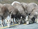 Solné lizy a minerální lizy pro kozy