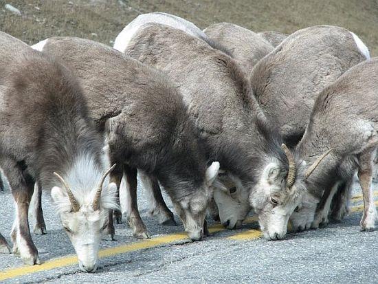 Solné lizy a minerální lizy Biosaxon pro ovce, kozy a zvěř
