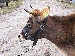Fixační pomůcky dobytka, skotu, krav