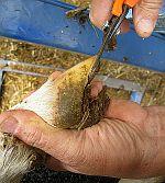 Péče o paznehty ovcí - nože, nůžky, boty, spreje, tinktury
