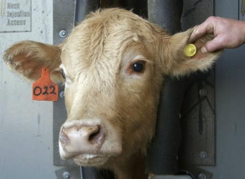 značkovací pomůcky pro dobytek, skot, krávy, telata
